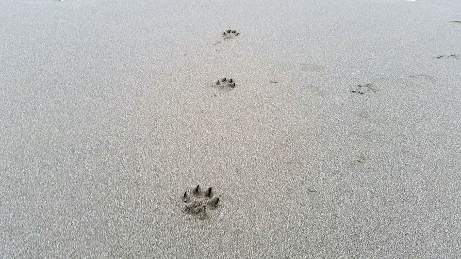 Paw prints in the sand on a rather cloudy day. Outdoors Beach Footprints Paw Prints Animal Sand Coastal Coastline Walking No People