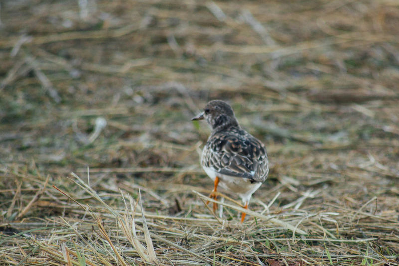 Avian Beach Bird Bird Photography Grass Sand Piper Wildlife Wildlife & Nature Wildlife Photography