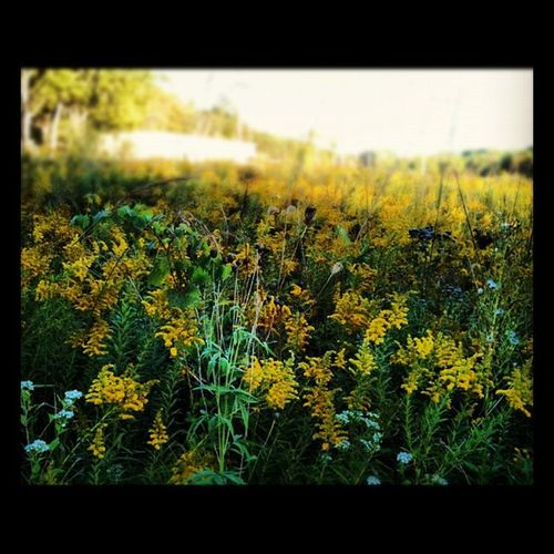 Flower Field Yellow Nature Flower Dreams Indiancreek