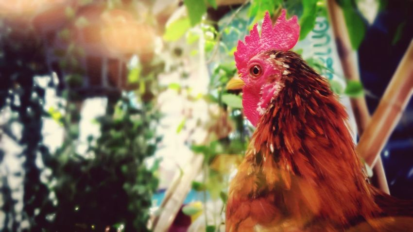 Beautiful and colorful dwarf chicken in the farm Colorful Beauty Chicken - Bird Beautiful Animal Cute Animal Colorful Animal Dwarf Chicken Pet Rooster Poultry Farm Animal Domestic Animals Agriculture Red Animal Themes