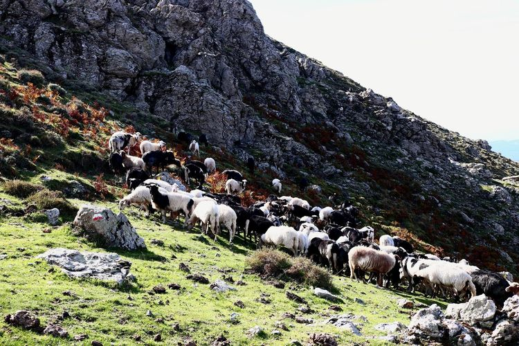 View of sheep grazing on land