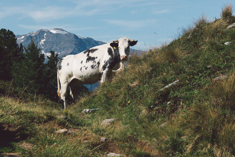 Cow standing on grassy hill against sky