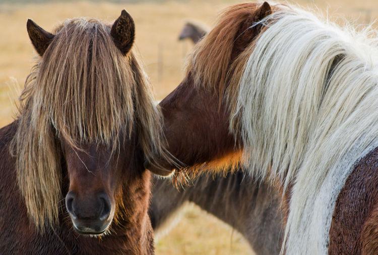 Mammal Animal Animal Themes Horse Domestic Animals Domestic Livestock Vertebrate Mane Group Of Animals Animal Hair Animal Head  Hair No People Outdoors Iceland Icelandic Horses