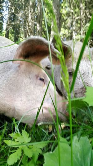 Austria Good Luck Forest Animal Lucky Pig Animals In The Wild Happy Anímals Pigs Animals