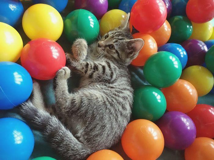 Close-up of cat in multi colored balls