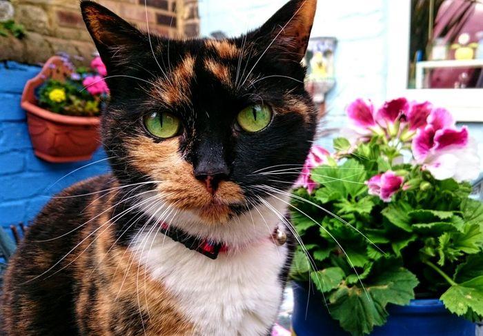 Sugar Plum Cats Cats Of EyeEm Tortoiseshell Cat Queen Cat Pretty Cat Alertness Green Eyes Pets