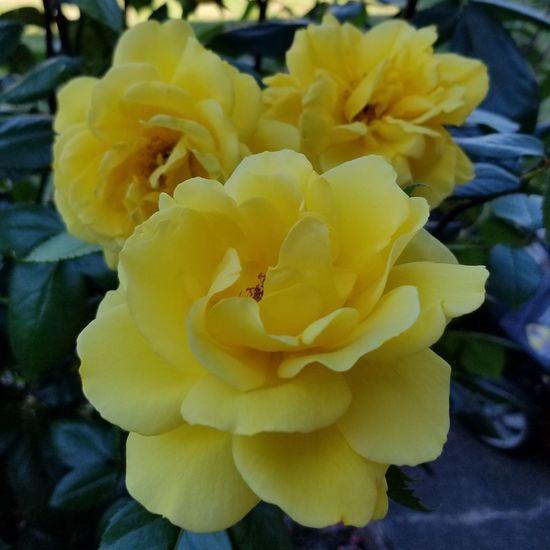 Roses Roses Flowers  Yellow Flower Yellowrose Flowerporn Lovingsummer Noeditneeded Flower Head Petal Prickly Pear Cactus Close-up Plant