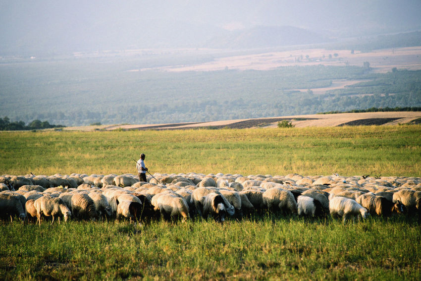 Sheepherder with his sheeps, Ismayilli Azerbaijan Agriculture Animal Themes Beauty In Nature Domestic Animals Field Flock Of Sheep Grass Grazing Growth Ismayilli Landscape Large Group Of Animals Livestock Mammal Mountain Nature No People Outdoors Rural Scene Scenics Sheep Sky Togetherness Travel Destinations