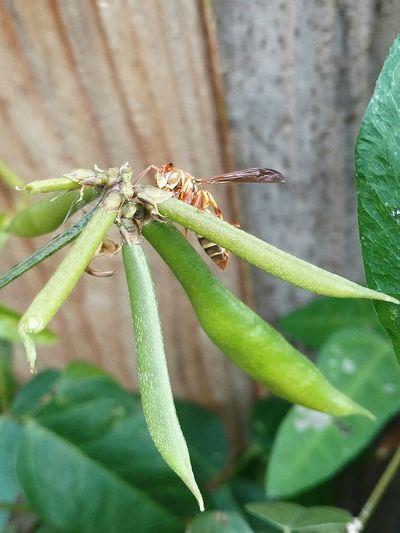 Wasp Wildvine MyMorningWalk Eye4photography  Foralessandra Close-up