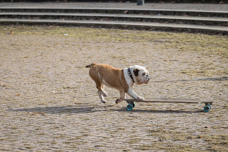 Animal Themes Day Dog Dog Makes Skateboarding Domestic Animals Englisch Bulldog Mammal No People One Animal Outdoors Pets Skateboard Skateboarding