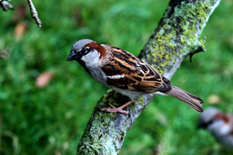 Sparrow perching on branch