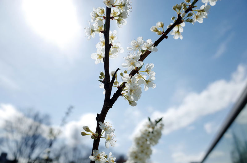 Beauty In Nature Blossom Branch Cherry Blossom Cherry Tree Close-up Flower Focus On Foreground Fragility Freshness Fruit Tree Growth In Bloom Japan Photography Low Angle View Nature Sakura Blossom Sky Springtime Tree Twig White Color