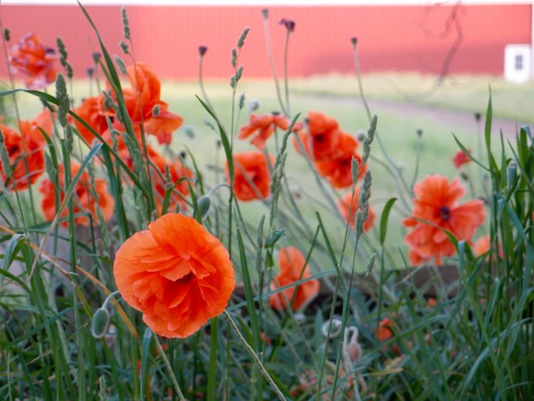 Bright Orange Poppies  Field Of Poppies Red Barn Nature Photography