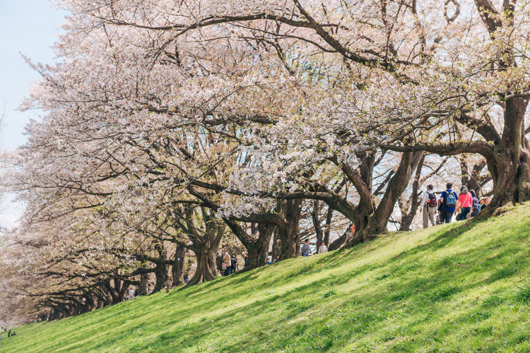 Kyoto, JAPAN - April 3, 2018: People enjoy seeing beautiful blooming cherry blossom at Yawatashi. Plant Tree Springtime Beauty In Nature Grass Flower Growth Blossom Nature Park Flowering Plant Park - Man Made Space Day Incidental People Cherry Blossom Leisure Activity Branch Women Real People Group Of People Outdoors Cherry Tree Sakura Blossom Hanami Hanami Sakura