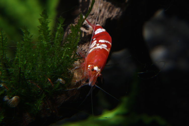 Crystal Red Shrimp Crystal Red Red Animal Wildlife Close-up Plant Animals In The Wild No People Animal One Animal Animal Themes Nature Land Day Selective Focus Outdoors Invertebrate Growth Insect Forest Beauty In Nature Mushroom Poisonous Marine