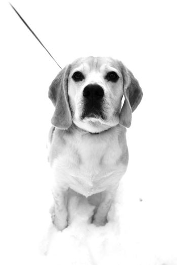 Winter Animal Themes Beagle Close-up Day Dog Domestic Animals Looking At Camera Mammal No People One Animal Pet Pets Portrait Sitting Snow Studio Shot White Background