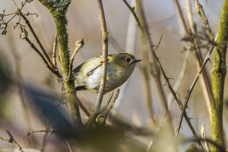 A goldcrest on