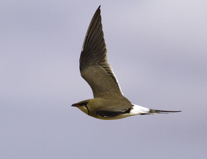 Beauty In Nature Bird Bird Photography Birds European Birds Glareola Pratincola Western Palearctic Wildlife & Nature Wildlife Photography Wildlife Photos