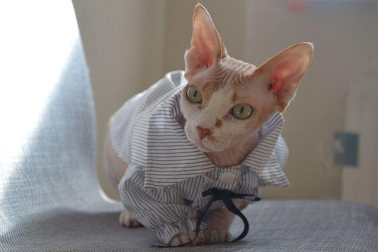 Sphynx Sphinx EyeEm Selects Domestic Pets Domestic Animals Mammal Animal Themes One Animal Cat Domestic Cat Animal Home Interior
