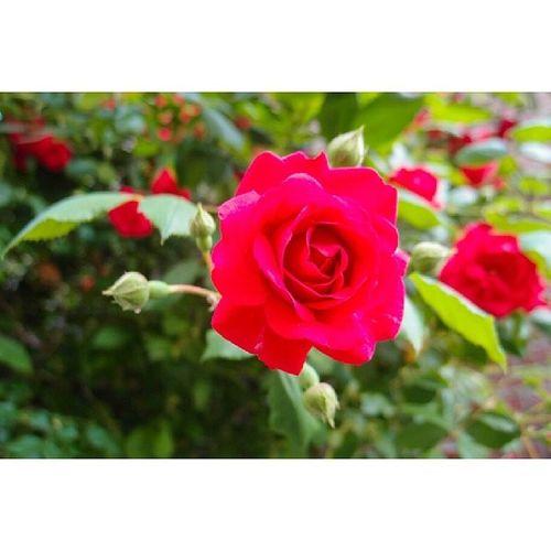 5월14일 로즈데이 Olympus Xz_1 스냅 일상 장미꽃