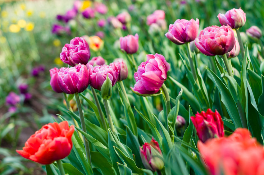 Red and pink tulips Beauty In Nature Blooming Close-up Day Flower Flower Head Fragility Freshness Green Color Nature No People Outdoors Pink Tulips Plant Red Tulips