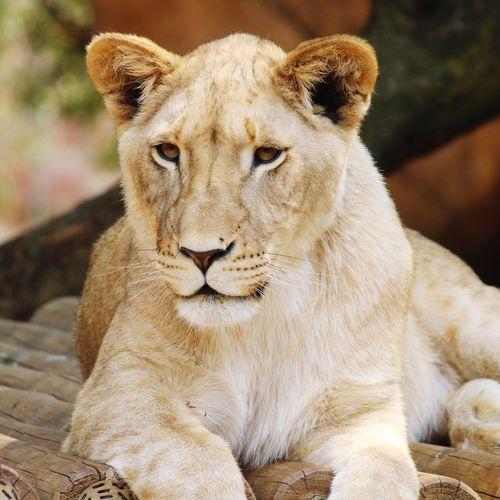 Portrait Lion -