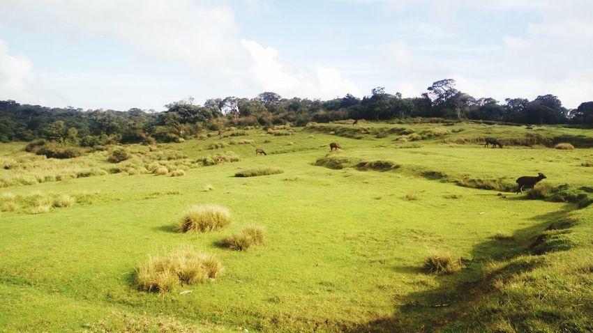 Sri Lanka Horton Plains Horton Plains National Park Deers Deer Tree Sky Grass Landscape Cloud - Sky