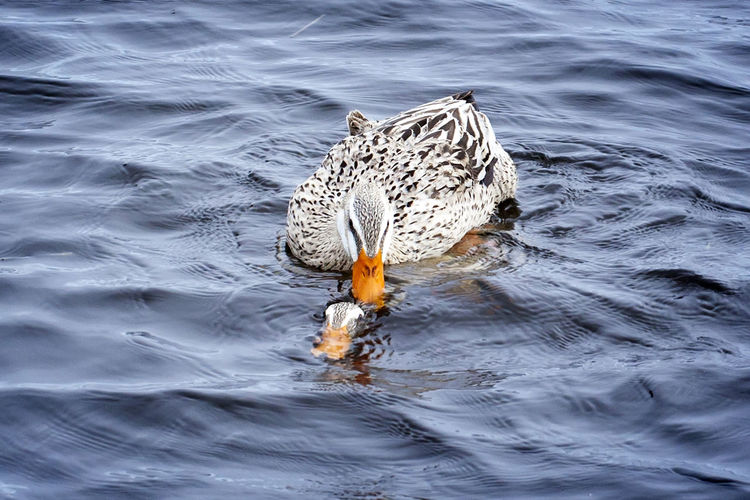 High angle view of ducks swimming and mating in lake