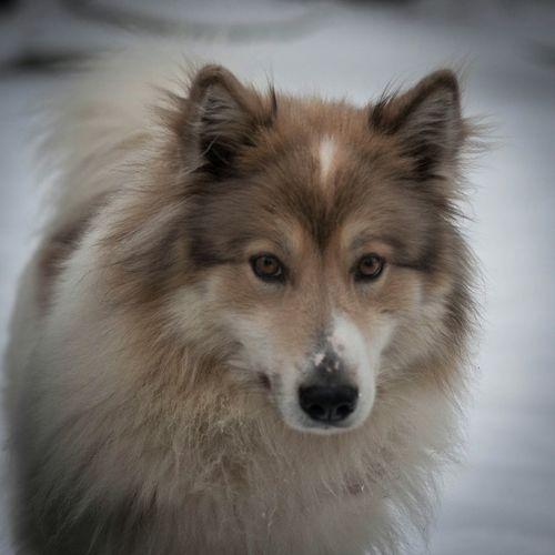 Dog Hunter Laika Winter EyeEm Best Shots Porttrait Feelings
