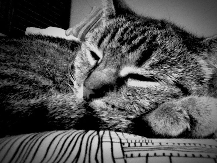 B&w Shades Of Grey B&w Photography Relaxing B&W Portrait Cat♡ Lovely Animal Cats Animals