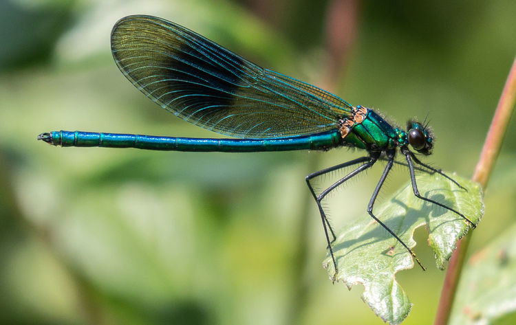 The banded Demoiselle Animal Animal Themes Animal Wildlife Animal Wing Animals In The Wild Banded Demoiselle Blue Close-up Damselflies Damselfly Day Dragonfly Focus On Foreground Green Color Insect Invertebrate Leaf Legs Nature No People One Animal Outdoors Plant Plant Part Wings