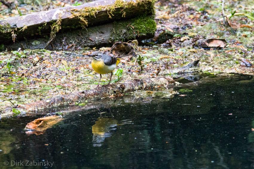 Gebirgsstelze Gebirgsstelze Tierfotografie Vogel Animal Animal Themes Animal Wildlife Animals In The Wild Bird Grey Wagtail Nature No People Outdoors Vogelfotografie Water