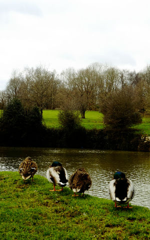 Resting ducks Countryside Day Ducks Grass Grassy Green Color Lake Landscape Nature No People Outdoors Rural Scene Tree