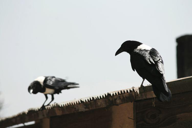 Tanzania 2015 Tanzania Corvuscorax Corvus Raven Katatonia Deadendkings Tandala Makete