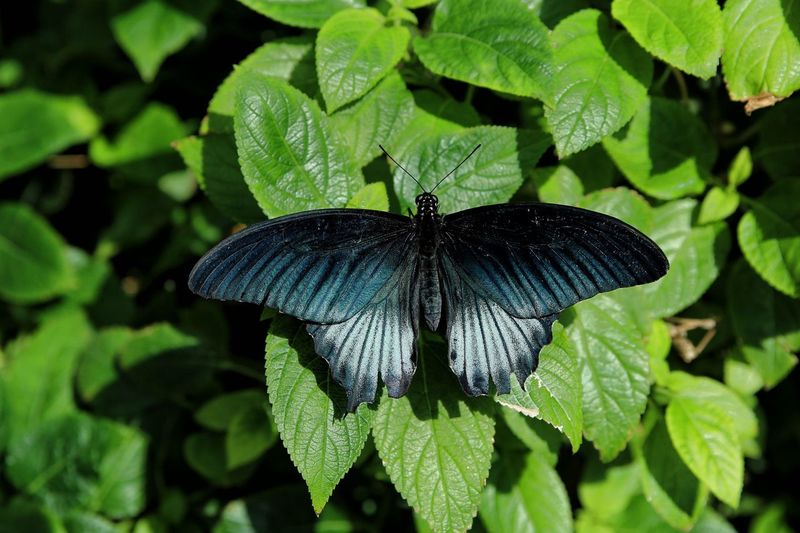 Butterfly 5 Leaf Plant Part Insect Invertebrate Animals In The Wild One Animal Green Color Animal Nature Beauty In Nature Growth Plant Animal Themes Animal Wildlife No People Close-up Butterfly - Insect Animal Wing Day Focus On Foreground EyeEmNewHere