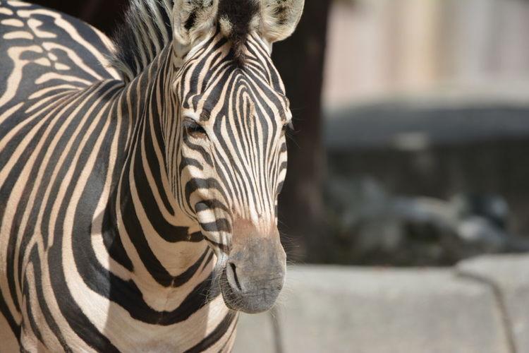 Zebra standing at zoo