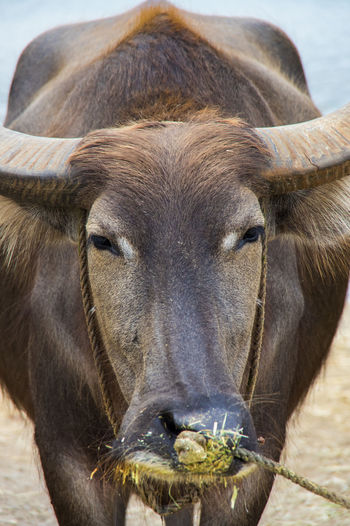 Close-up portrait of bull