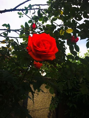 Plant Flower Beauty In Nature Flowering Plant Freshness Growth Petal Rosé Fragility Red Vulnerability  Flower Head Inflorescence Nature Rose - Flower Close-up Plant Part Leaf Day No People