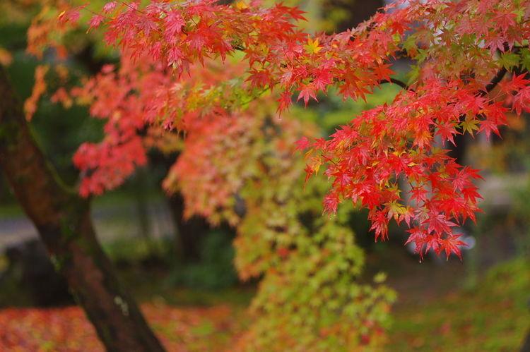 そうだ京都、行こう。 永観堂 紅葉 紅葉🍁 Eikando Autumn Leaves Autumn🍁🍁🍁 Nature Nature Photography Nature Collection Outdoors Beauty In Nature