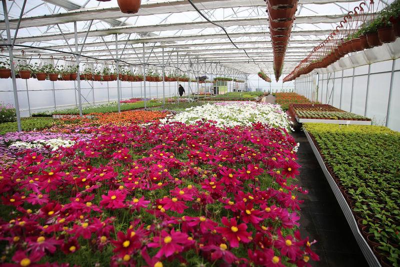 Pink flowering plants in greenhouse