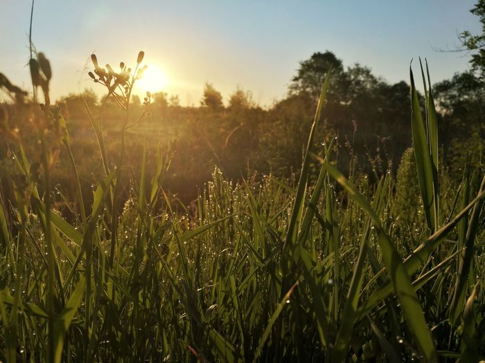 Sunset Nature Plant Growth Grass Rural Scene Outdoors Uncultivated Landscape Field Sunlight Agriculture No People Tree Silhouette Beauty In Nature Day Scenics Cereal Plant Backgrounds