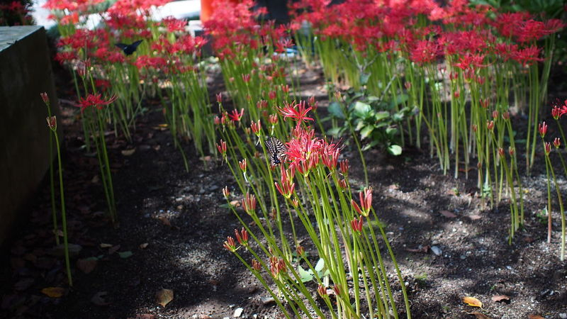 浄土へ誘う Spiderlily Red Flowerporn Buddhism Photowalk Streamzoofamily M.zuiko