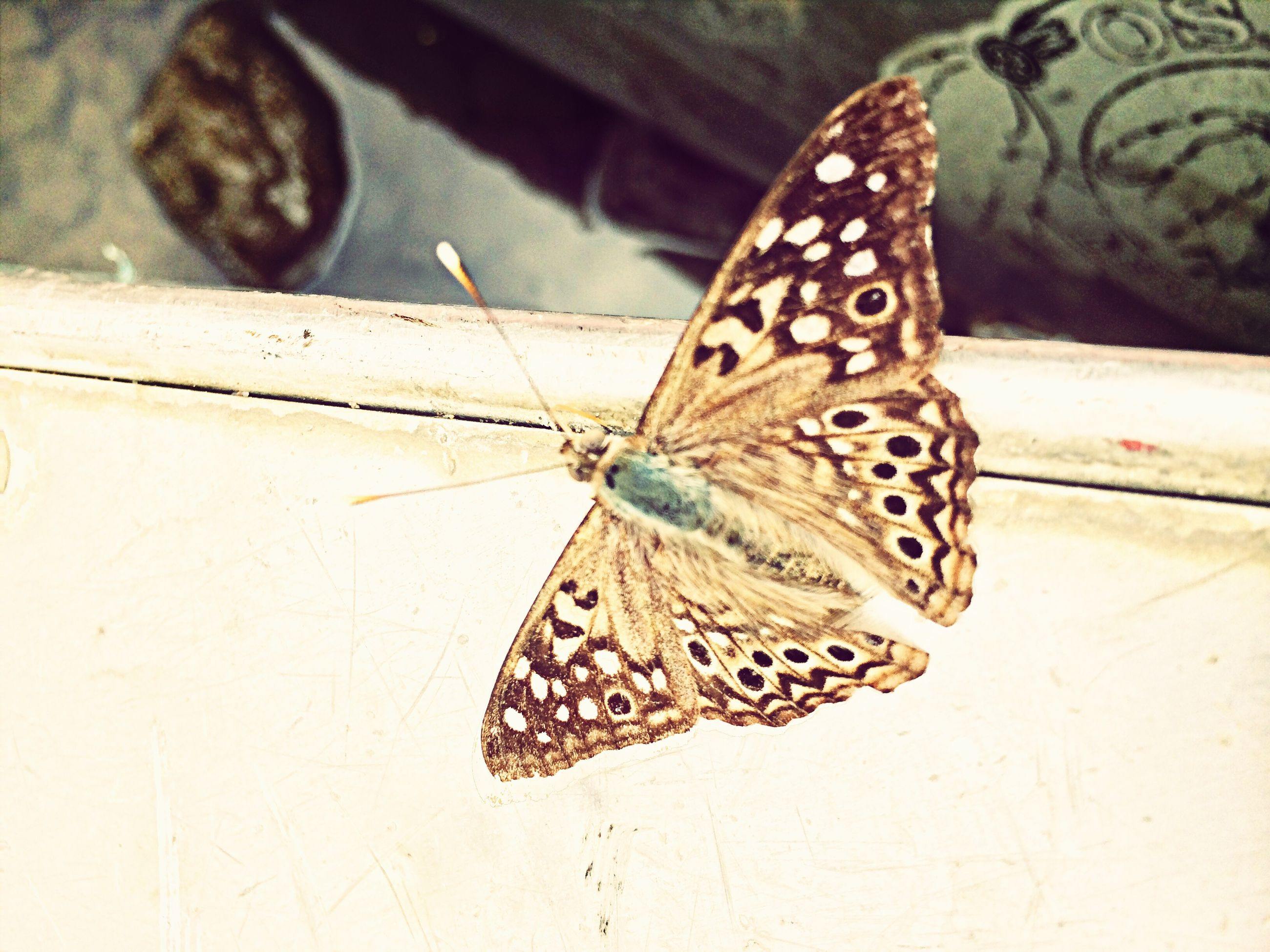 one animal, animal themes, animals in the wild, butterfly - insect, animal markings, wildlife, insect, butterfly, natural pattern, animal wing, close-up, animal antenna, pattern, outdoors, focus on foreground, no people, day, striped, spotted, nature