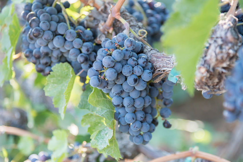Ripe bunches of purple grapes on vine in vineyard Afternoon Autumn Naramata Naramata Bench October Plant Vines Agriculture Bunch Close-up Cluster Crop  Food And Drink Fruit Grapes Harvest Outdoors Purple Grapes Ripe South Okanagan Vineyard Vineyard🍇 Viniculture Wine Winemaking