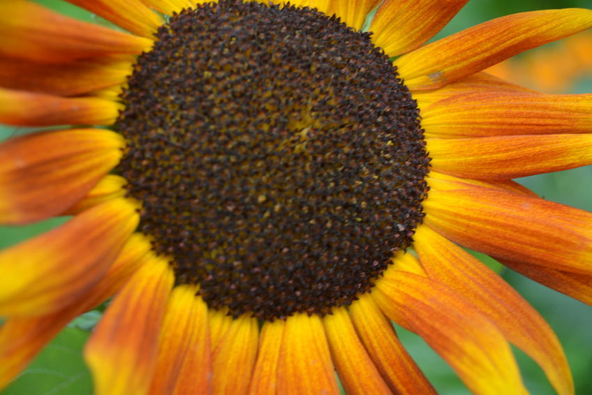 Beauty In Nature Close-up Coneflower Flower Flower Head Flowering Plant Fragility Freshness Growth Inflorescence Nature No People Orange Color Outdoors Petal Plant Pollen Springtime Sunflower Vulnerability  Yellow