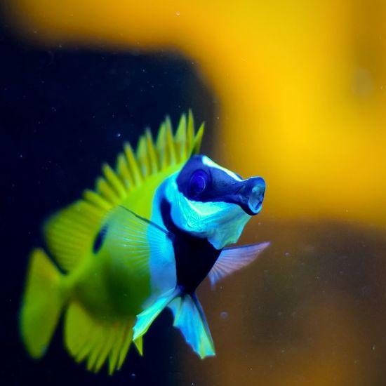 Close Up Siganus Vulpinus Foxface Rabbitfish Aquarium Fish