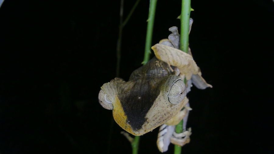 File-eared tree frog Borneo Rainforest Frog Tropical Rainforest Wonder Of Frogs Rainforest Frog Amphibians