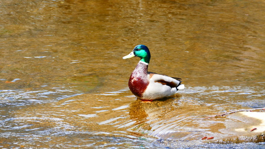 Duck Bird Water One Animal Animals In The Wild Animal Themes Duck Animal Wildlife Reflection Lake Nature Outdoors Multi Colored No People Day Beauty In Nature Swimming EyeEm Nature Lover EyeEm Best Shots
