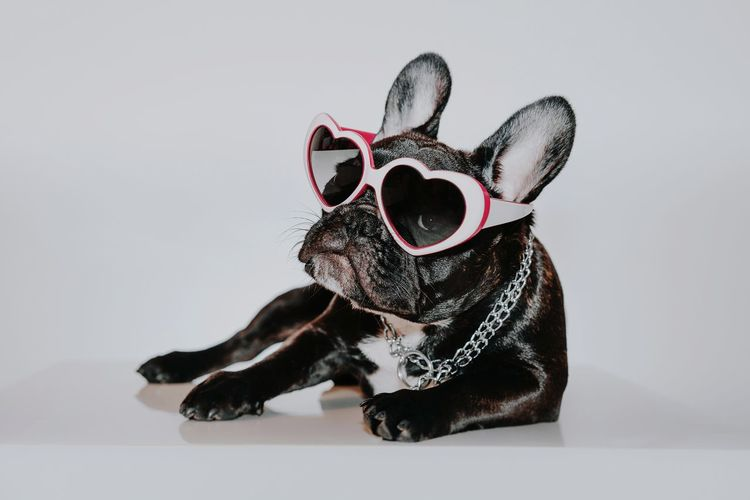 Sunglasses Pets Dog Puppy Studio Shot Sitting Eyeglasses  Cute Disguise Mask - Disguise Carnival Superhero French Bulldog Bulldog Pet Equipment Purebred Dog Canine
