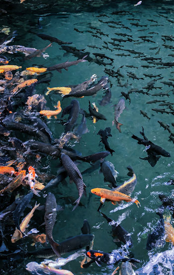 High angle view of koi carps swimming in sea